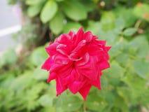 Λουλούδι που λαμβάνεται στην Ιαπωνία Στοκ Φωτογραφία