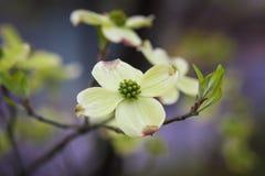 Λουλούδι που διαδίδεται άσπρο Στοκ φωτογραφία με δικαίωμα ελεύθερης χρήσης