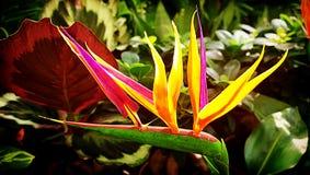 Λουλούδι πουλιών του παραδείσου με τα φωτεινά χρώματα στο θολωμένο υπόβαθρο Στοκ φωτογραφία με δικαίωμα ελεύθερης χρήσης