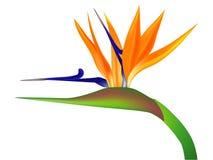 Λουλούδι πουλιών του παραδείσου σε ένα άσπρο υπόβαθρο απεικόνιση αποθεμάτων