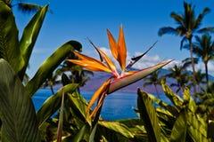 Λουλούδι πουλιών του παραδείσου σε Maui Στοκ φωτογραφία με δικαίωμα ελεύθερης χρήσης