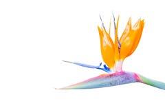 Λουλούδι πουλιών του παραδείσου Στοκ εικόνα με δικαίωμα ελεύθερης χρήσης