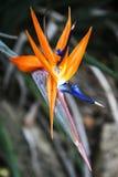 Λουλούδι πουλιών του παραδείσου Στοκ εικόνες με δικαίωμα ελεύθερης χρήσης