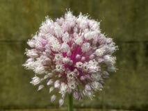 Λουλούδι πράσων Στοκ φωτογραφία με δικαίωμα ελεύθερης χρήσης