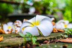 Λουλούδι πτώσης Plumeria Στοκ Εικόνες