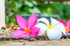 Λουλούδι πτώσης Plumeria Στοκ Φωτογραφία