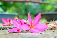 Λουλούδι πτώσης Plumeria Στοκ Φωτογραφίες
