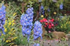 Λουλούδι δράκων majus Antirrhinum στην άνθιση στον κήπο Στοκ εικόνα με δικαίωμα ελεύθερης χρήσης