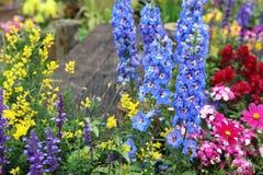 Λουλούδι δράκων majus Antirrhinum στην άνθιση στον κήπο Στοκ Φωτογραφία