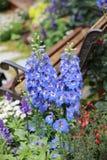 Λουλούδι δράκων majus Antirrhinum στην άνθιση στον κήπο Στοκ φωτογραφία με δικαίωμα ελεύθερης χρήσης
