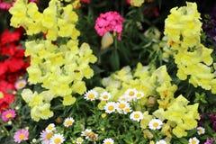 Λουλούδι δράκων majus Antirrhinum στην άνθιση στον κήπο Στοκ Εικόνα