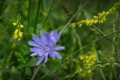 Λουλούδι ραδικιού - intybus Cichorium Στοκ Εικόνες