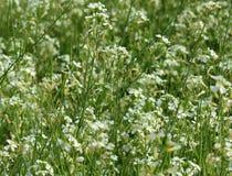 Λουλούδι ραδικιών Στοκ φωτογραφίες με δικαίωμα ελεύθερης χρήσης