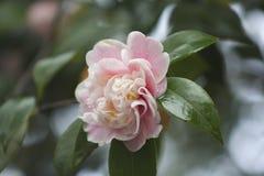 Λουλούδι δροσιάς πρωινού Στοκ εικόνες με δικαίωμα ελεύθερης χρήσης