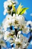 Λουλούδι ροδάκινων Στοκ εικόνες με δικαίωμα ελεύθερης χρήσης