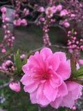 Λουλούδι ροδάκινων στοκ εικόνες