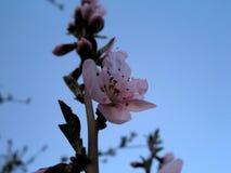 Λουλούδι ροδάκινων Στοκ Φωτογραφίες