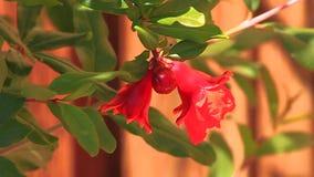 Λουλούδι ροδιών απόθεμα βίντεο