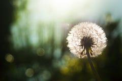 Λουλούδι ρολογιών πικραλίδων Στοκ φωτογραφία με δικαίωμα ελεύθερης χρήσης