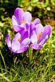 Λουλούδι σαφρανιού Στοκ φωτογραφίες με δικαίωμα ελεύθερης χρήσης