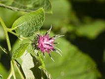 Λουλούδι σε ξύλινο Burdock, nemorosum Arctium, μακρο, εκλεκτική εστίαση, ρηχό DOF Στοκ φωτογραφίες με δικαίωμα ελεύθερης χρήσης
