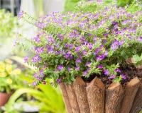 Λουλούδι σε σε δοχείο που γίνεται από το ξύλο, hyssopifola cuphea Στοκ Φωτογραφίες