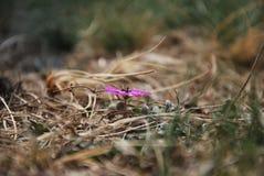 Λουλούδι σε Kajmakcalan Στοκ Εικόνες