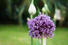 Λουλούδι σκόρδου Στοκ φωτογραφίες με δικαίωμα ελεύθερης χρήσης