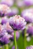 Λουλούδι σκόρδου Στοκ Εικόνα