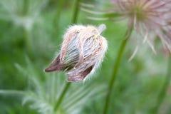 Λουλούδι σκόρδου Στοκ Εικόνες