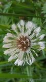 Λουλούδι Σπόροι πικραλίδων Ρολόι χτυπήματος στοκ εικόνα με δικαίωμα ελεύθερης χρήσης