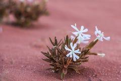 Λουλούδι στην έρημο ρουμιού Wadi στην Ιορδανία Στοκ Φωτογραφία