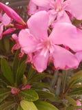 Λουλούδι στην Ελλάδα Στοκ Εικόνες