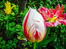 Λουλούδι στην Κριμαία Καταπληκτικό άσπρο λουλούδι τουλιπών & πράσινο τοπίο χλόης λευκό λουλουδιών άσπρο λουλούδι τουλιπών λουλουδ Στοκ Εικόνες