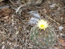 Λουλούδι στον κάκτο Στοκ Εικόνες