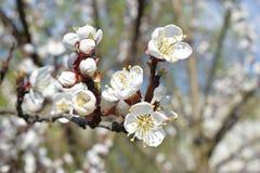 Λουλούδι στο δέντρο ροδακινιών Στοκ Εικόνες