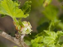 Λουλούδι στο ανθίζοντας ριβήσιο, uva-crispa Ribes, μακρο, εκλεκτική εστίαση, ρηχό DOF στοκ εικόνες