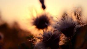 Λουλούδι στο ηλιοβασίλεμα απόθεμα βίντεο