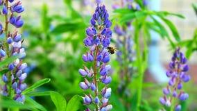 Λουλούδι στο θερινά ηλιοβασίλεμα και το bublebee απόθεμα βίντεο