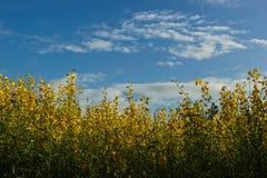 Λουλούδι συναπόσπορων άνοιξη Στοκ Φωτογραφίες
