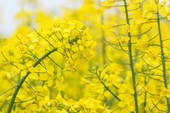 Λουλούδι συναπόσπορων Στοκ εικόνες με δικαίωμα ελεύθερης χρήσης