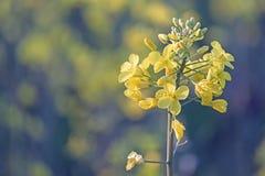 Λουλούδι συναπόσπορων Στοκ φωτογραφίες με δικαίωμα ελεύθερης χρήσης