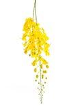 Λουλούδι συριγγίων της Cassia που απομονώνεται στο άσπρο υπόβαθρο Στοκ Εικόνες
