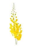 Λουλούδι συριγγίων της Cassia που απομονώνεται στο άσπρο υπόβαθρο Στοκ φωτογραφία με δικαίωμα ελεύθερης χρήσης