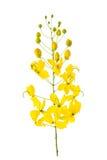 Λουλούδι συριγγίων της Cassia που απομονώνεται στο άσπρο υπόβαθρο Στοκ Φωτογραφία