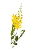 Λουλούδι συριγγίων της Cassia που απομονώνεται στο άσπρο υπόβαθρο Στοκ εικόνες με δικαίωμα ελεύθερης χρήσης