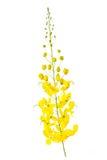 Λουλούδι συριγγίων της Cassia που απομονώνεται στο άσπρο υπόβαθρο Στοκ Εικόνα