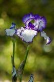 Λουλούδι της ίριδας στον κήπο στο έντονο φως του ήλιου ρύθμισης Στοκ Φωτογραφίες