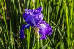 Λουλούδι της ίριδας στον κήπο στο έντονο φως του ήλιου ρύθμισης Στοκ Εικόνες