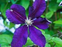 Λουλούδι της ίριδας Στοκ Εικόνες